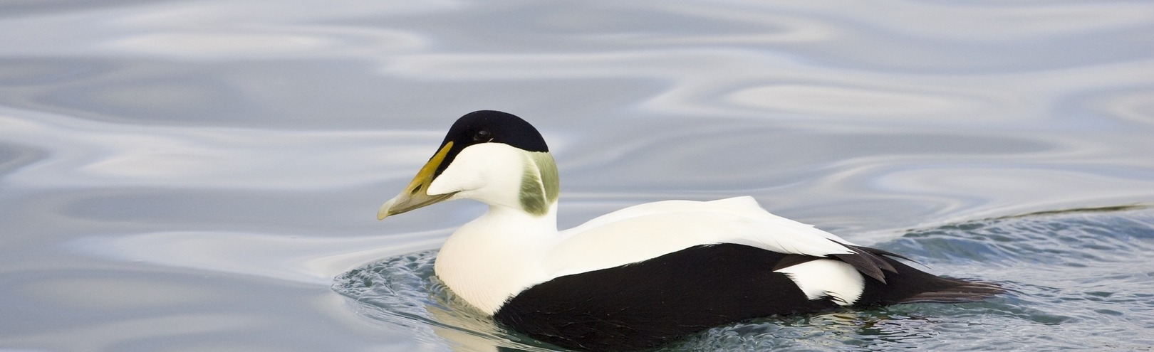 Eider duck behaviour in a changing world - Available at University of Iceland