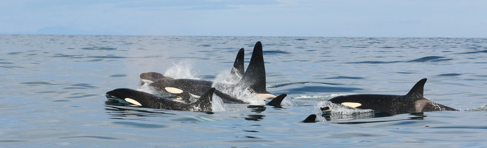 Why do pilot whales harass killer whales? - Available at University of Iceland