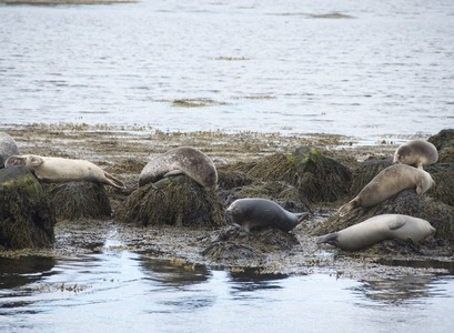 Harbour seal in the North west of Iceland