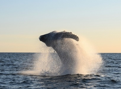 a jumping whale